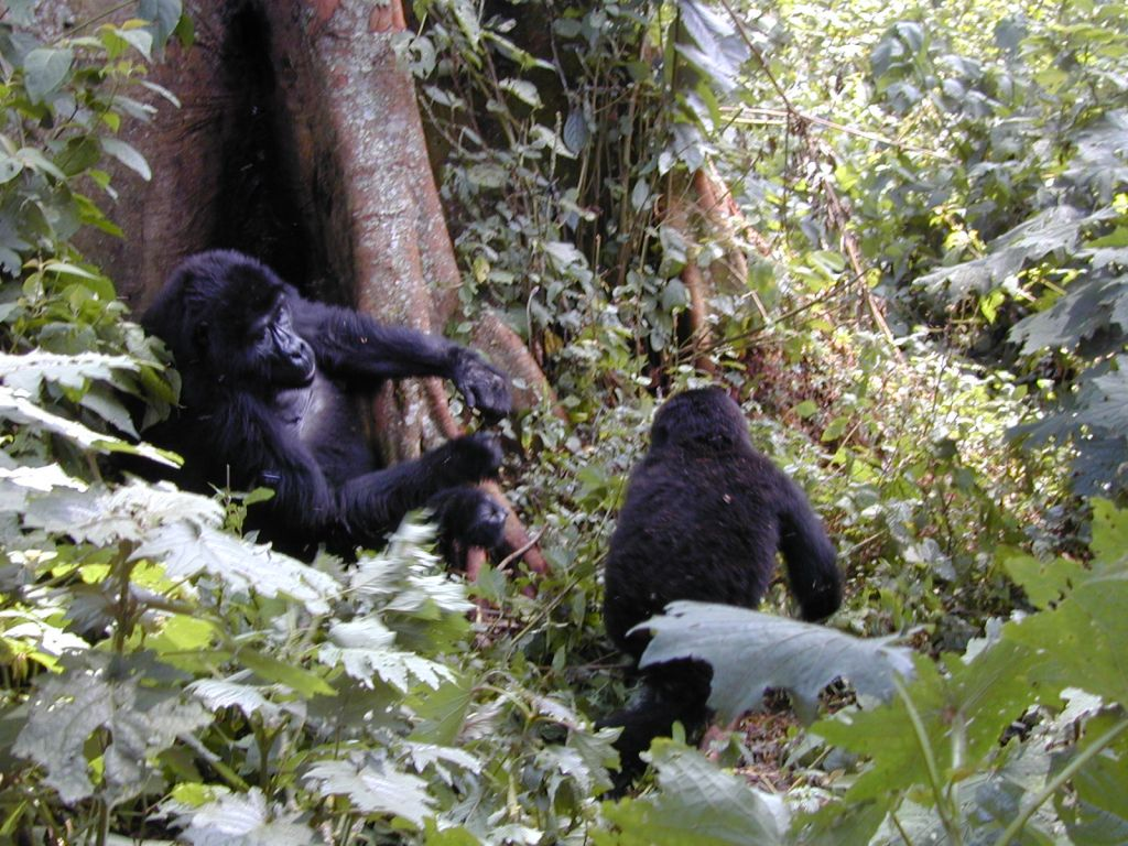 A Wild Mountain Gorilla conversint with its juvenile after a fight. Budget Gorilla Tours Uganda Rwanda - https://www.gorillasandwildlifesafaris.com/safaris/