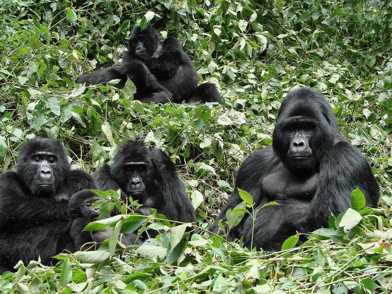 Uganda Gorilla Tours - A full Family of Moutain Gorillas in Bwindi Ruhija