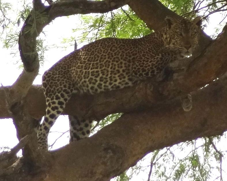 Leopards have been sighted in Queen Elizabeth National Park on tours