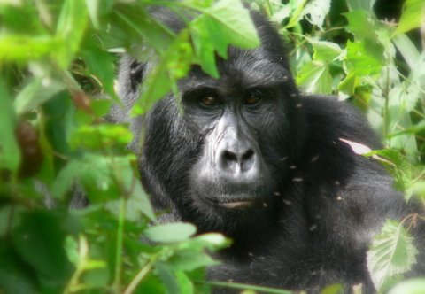 6 Days Gorilla Trek Uganda - An Old Silverback Mountain Gorilla Ready to Fight