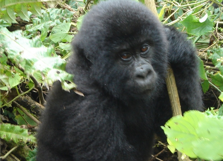 3 Days Gorilla Tour Uganda - Mountain Gorilla Playing in Forest