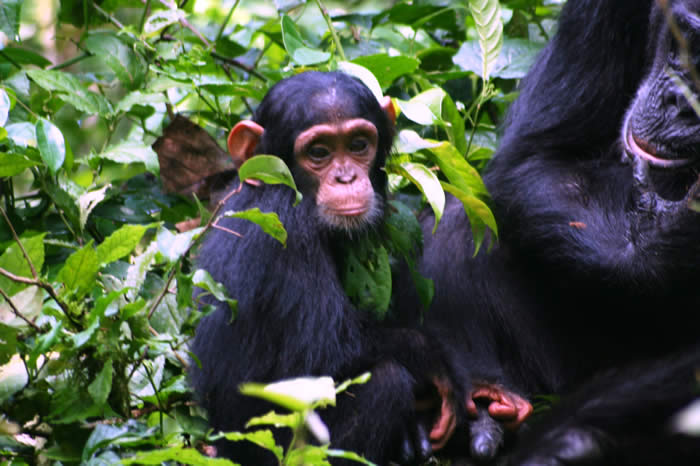 Wild Family of Chimpanzees sharing food on Kibale Uganda