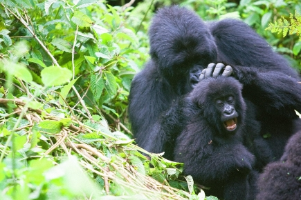 Budget Rwanda Gorilla Tours - A mountain Gorilla killing another