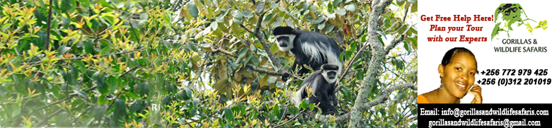 Black and white colobus monkey on Uganda primate tour