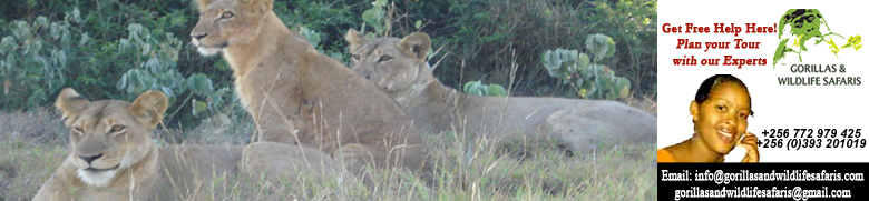 Lions in Queen Elizabeth National Park tour on Uganda Safari