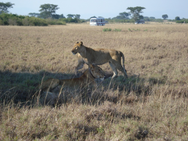 Uganda Tour Lions with Tourists in Queen Elizabeth National Park