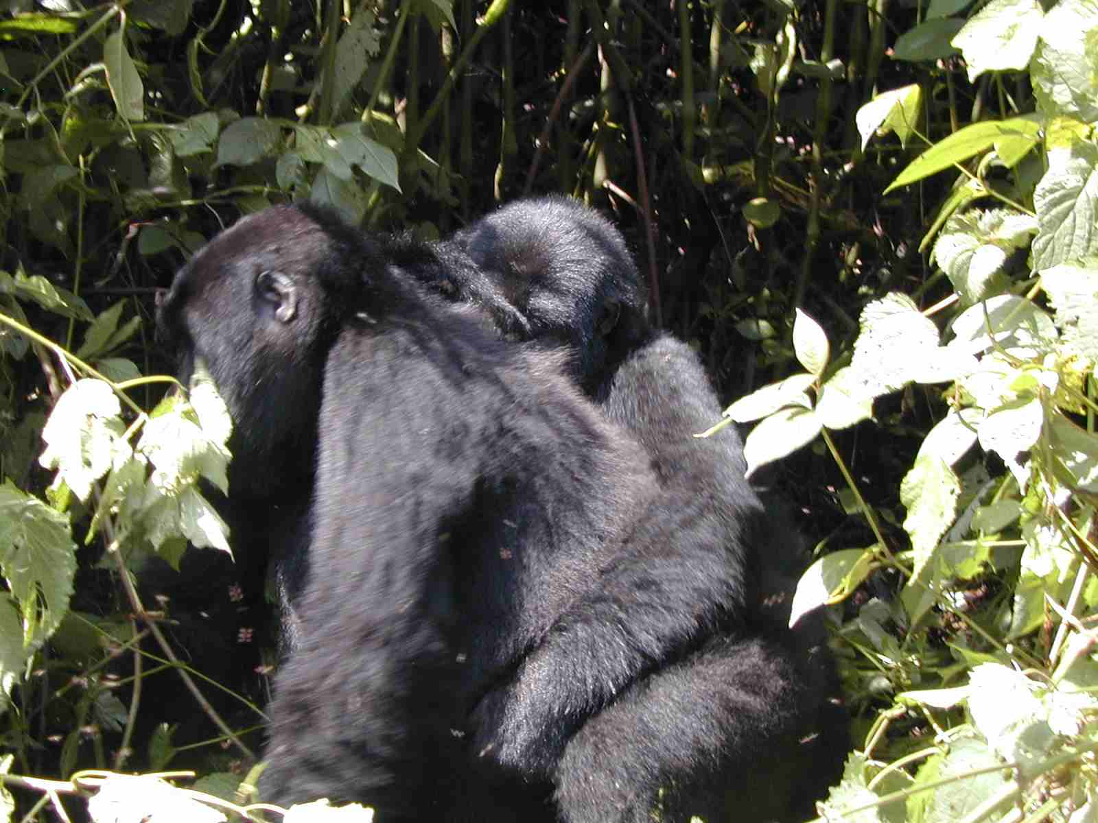 Bwindi Gorilla Trek - A Mother Gorilla Carrying a Baby