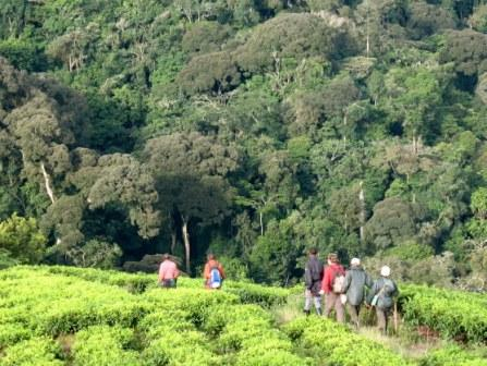 ../img/Gorilla Tour - Going for Gorilla Trek Walking in Forest and Plantations