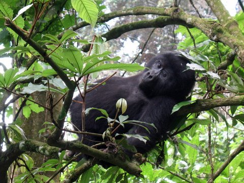 Uganda Gorilla Tours - A sleeping  mountain Gorilla recieves rude awakaning