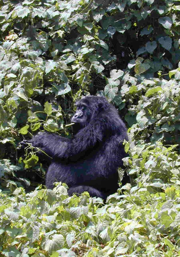 Budget Gorilla Tours Uganda Rwanda - https://www.gorillasandwildlifesafaris.com/gorilla%20safaris/DiscountGorillaToursSeasonalOfferPricesUgandaRwandaSafaris.htm