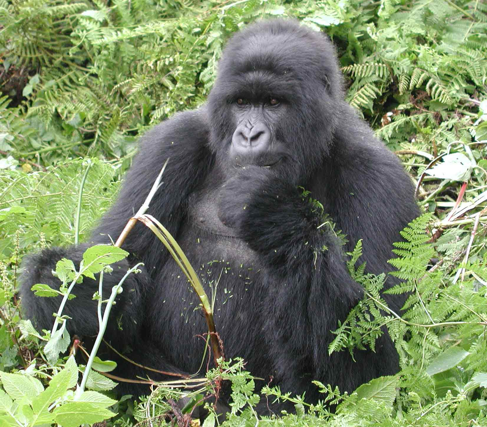 an introduction to the life of mountain gorillas
