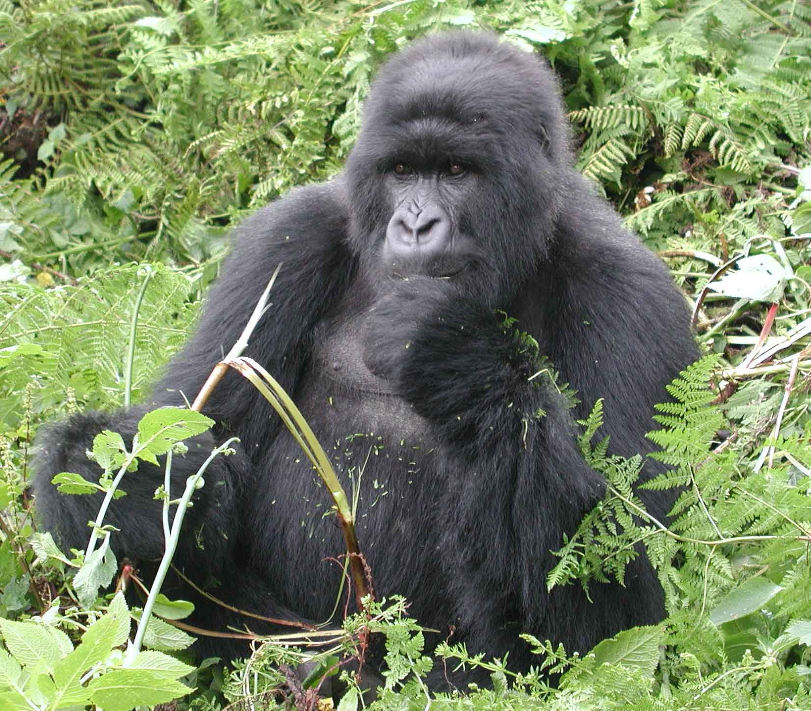 Mountain gorillas safari for only US$718! visit www.gorillasandwildlifesafaris.com