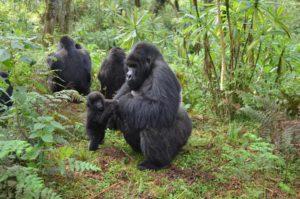 was named after the Sabyinyo volcano compare gorilla trekking rwanda uganda gorilla tracking tour