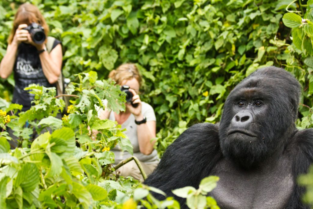 Uganda gorilla habituation experience tours gorillas and Wildlife Safaris