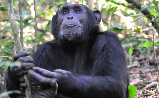 Chimp, Kibale Forest chimpanzee habituation experience gorilla tour uganda gorillas and Wildlife safaris