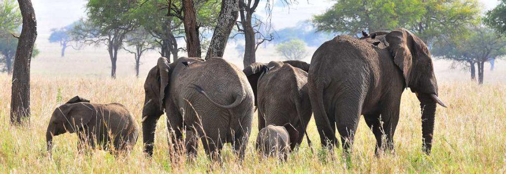 Elephants, Kidepo safari uganda Gorilla Habituation Experiential Wildlife Tours Gorillas and Wildlife Safaris
