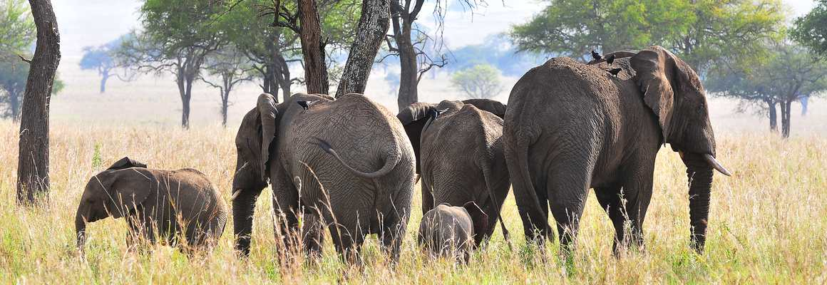 Elephants, Kidepo safari uganda Gorilla Habituation Experiential Wildlife Tours Gorillas and Wildlife Safaris
