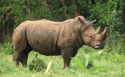 Rhino tracking, Ziwa Sanctuary Gorillas and Wildlife Safaris