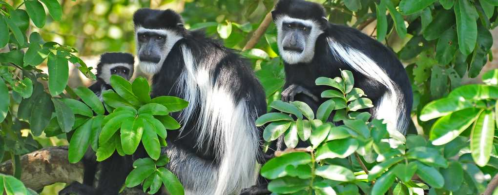 uganda primate safari Black and white colobus monkeys