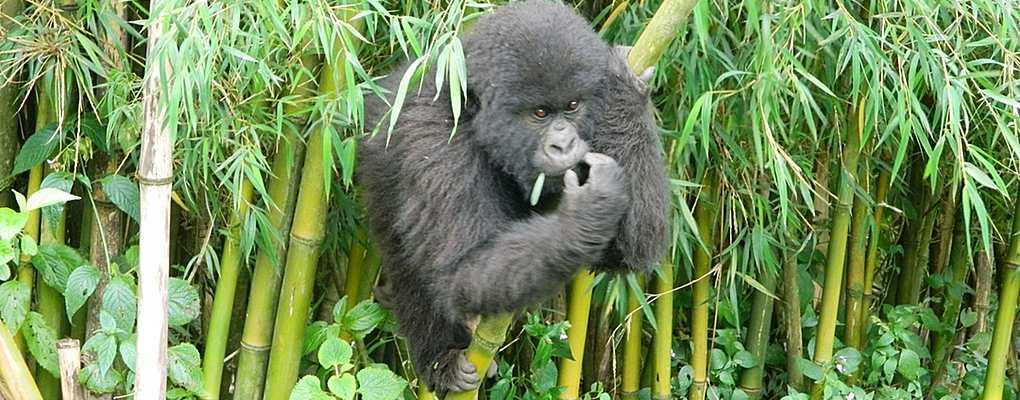 Uganda primate safari gorilla tracking chimp monkeys safari, uganda all primates safari, primates Uganda safari gorilla, Uganda primate safari gorilla tracking chimp monkeys safari, uganda all primates safari, primates Uganda safari gorilla tracking, Mountain gorilla climbing bamboo, Bwindi, Uganda primate tour, gorilla chimp tour , bwindi gorilla tracking kibale chimp all primate tour uganda