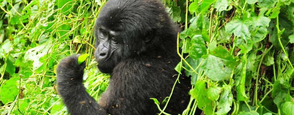 Bwindi Gorila trek safari rwanda Uganda chimps