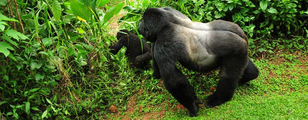 Uganda gorilla safari two treks Silverback and young gorilla, Bwindi, Uganda gorilla tour 2 treks