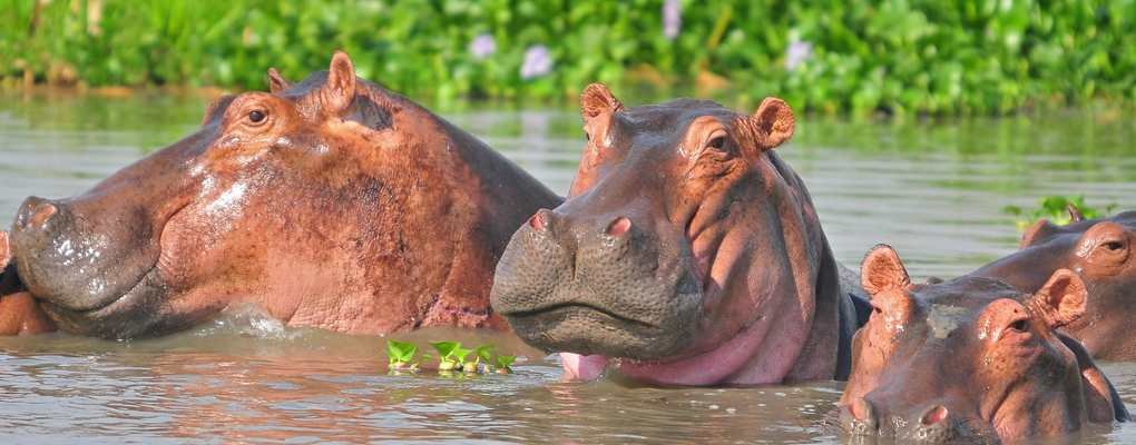 Hippopotami in Murchison - Best all-inclusive 7-day Uganda safari with gorilla trek, chimp tracking, primate wildlife tour Uganda. Track rhinos, BIG-5 wildlife, gorilla tour in Uganda. Hippos, Murchison Falls - Best of Uganda Tour, 7 days most popular Uganda tour Gorillas and Wildlife Safaris