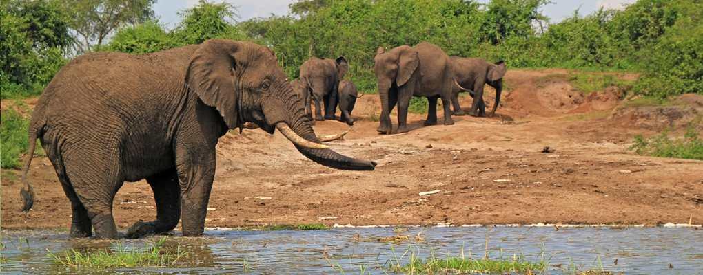 Elephant herd at Kazinga Channel, Queen Elizabeth National Park, Uganda