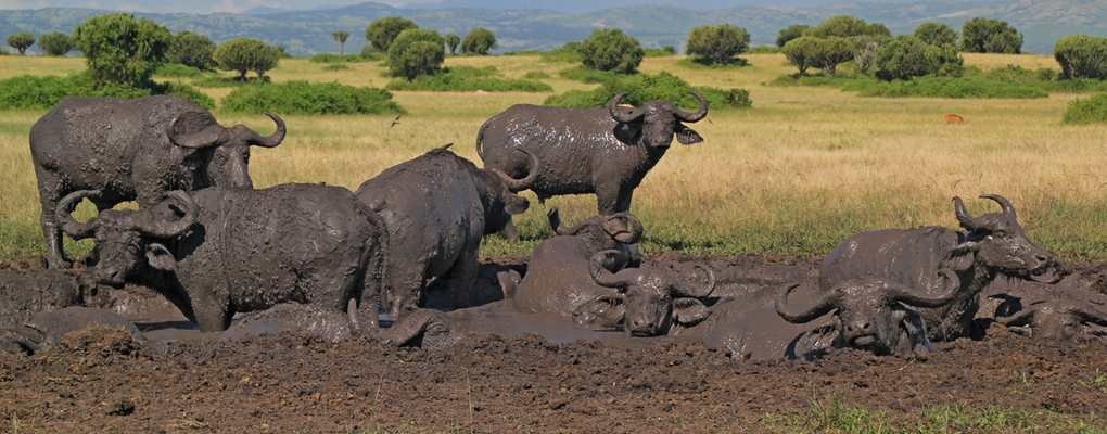 Buffalo herd in the mud, Queen Elizabeth National Park, Conclusive Uganda Gorilla trek, Primate tracking & Wildlife Safari - 10 Days