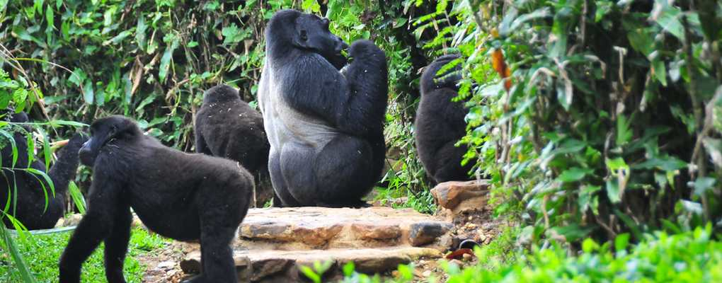 All Uganda gorilla safaris, Uganda tours, gorilla trekking tours, primate wildlife safaris, gorilla habituation safaris, uganda gorilla trekking in Africa