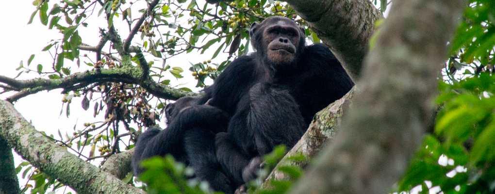 A Chimpanzee in Kibale on the rwanda uganda gorilla chimpanzee trek