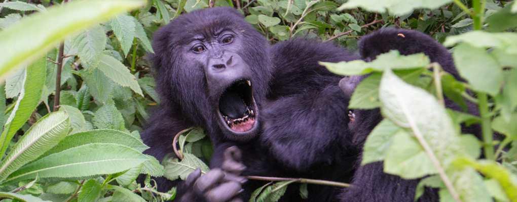 Mountain gorilla, Rwanda best gorilla tour, best of rwanda safari tour, rwanda primate tour. Rwanda Gorillas Chimps, Monkey