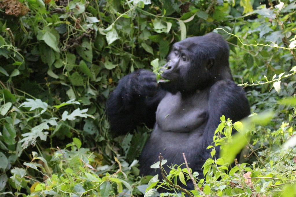 A member of Bikingi Mountain gorillas family in Bwindi Rushaga