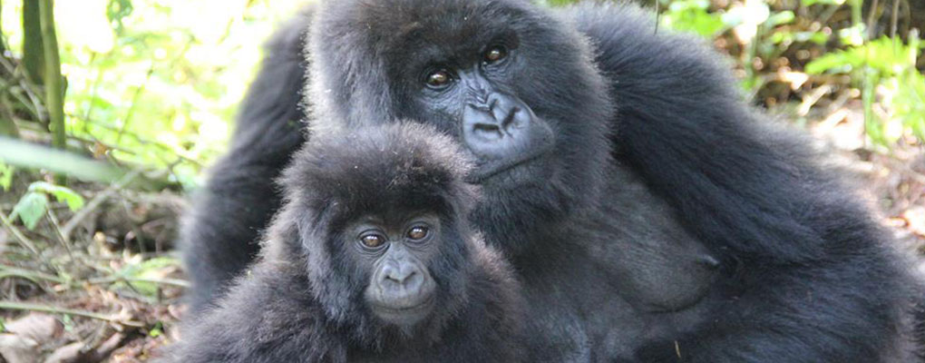 Rwanda Gorilla Trekking Tour - 2 Days Gorilla tour