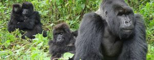 Bwindi gorilla habituation