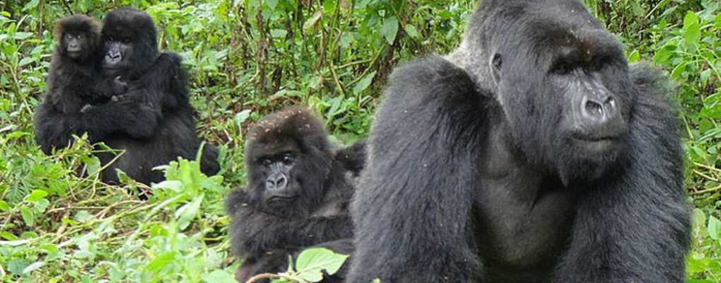 Bwindi gorilla habituation experience tour Gorillas and Wldlife Safaris