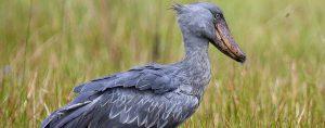 Shoebill, Uganda birdwarching safaris