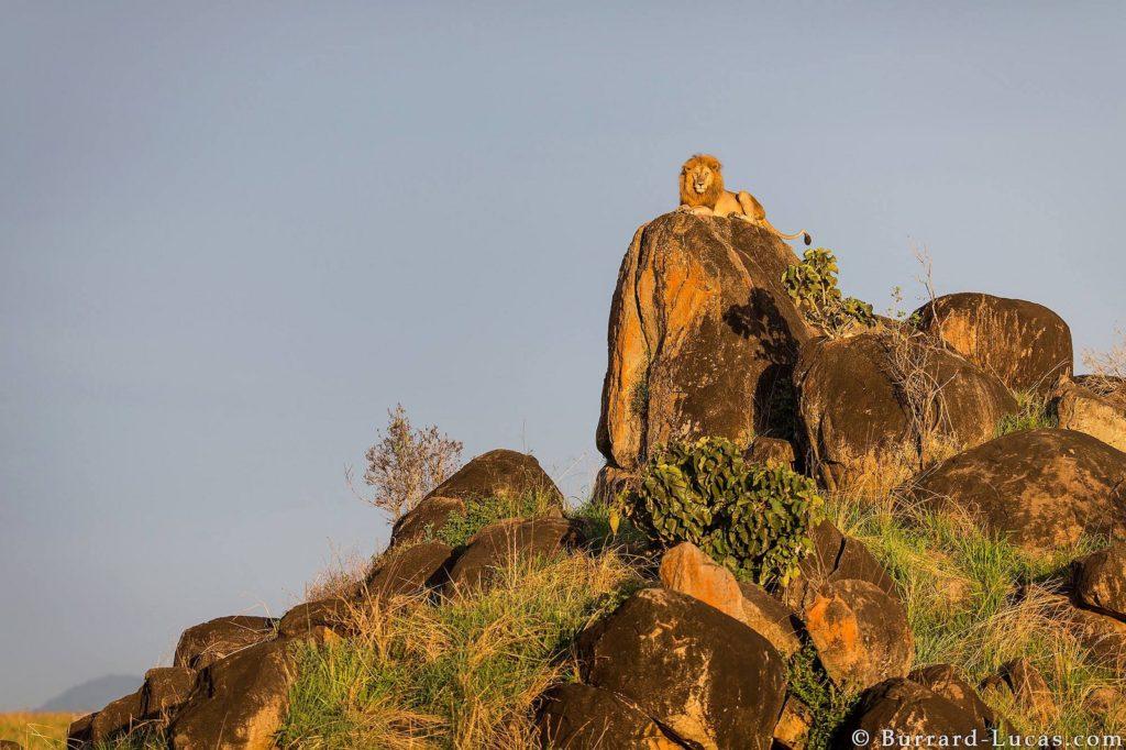 uganda safari holiday adventure lions wildlife