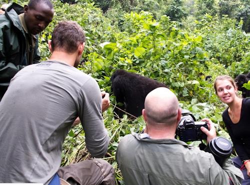 Uganda gorilla safari gorilla tour - seeing mountain gorillas in Biwindi Gorillas and Wildlife Safaris