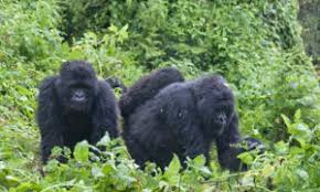Bwenge Gorilla Group in Volcanoes National Park. It is one of the habituated gorilla groups for gorilla trekking in Volcanoes National Park Rwanda with 13 gorillas.