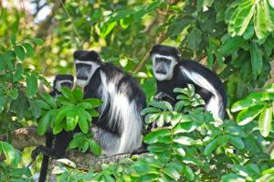 black and white colobus monkey combined Rwanda Uganda Gorilla Trek Tour