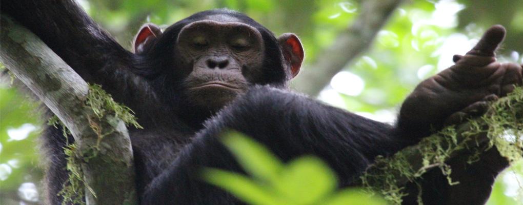 Uganda gorilla primate wildlife safari 8 days Gorillas and Wildlife Safari