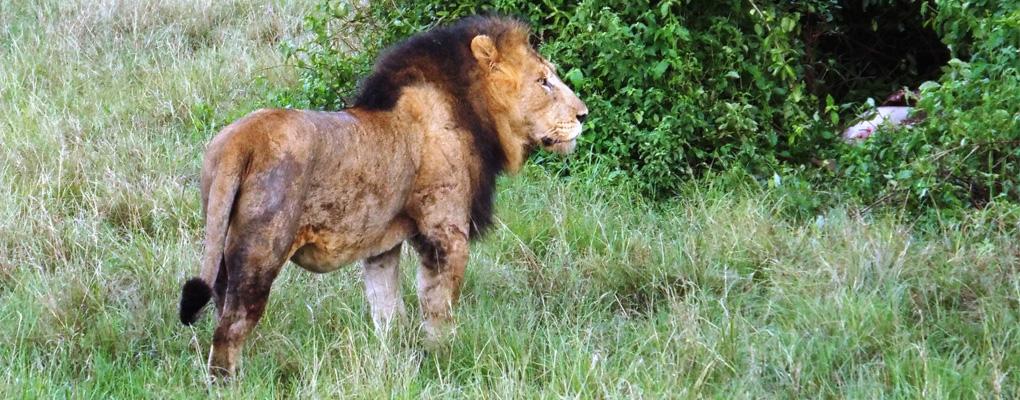 Uganda primates habituation experience, lion tracking, gorillas habituation, golden monkeys