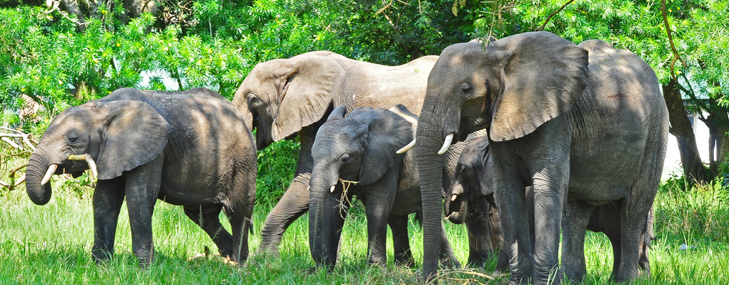 Uganda safari elephants in Queen Elizabeth National park, holiday in Uganda tours primate safari
