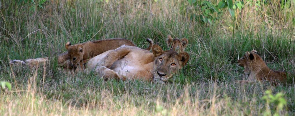 uganda safari gorilla wildlife safari in uganda