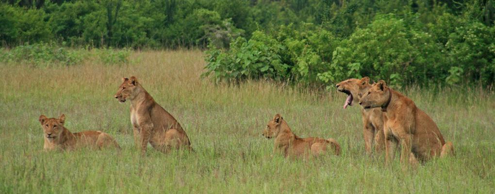 Uganda Gorilla Chimp Trek, Murchison Falls Wild Game Safari, uganda gorilla tracking experiences, uganda gorilla trek wild game