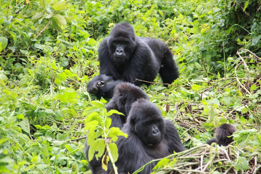 A mountain gorilla family in Bwindi Impenetrable National Park gorillas and Wildlife Safaris