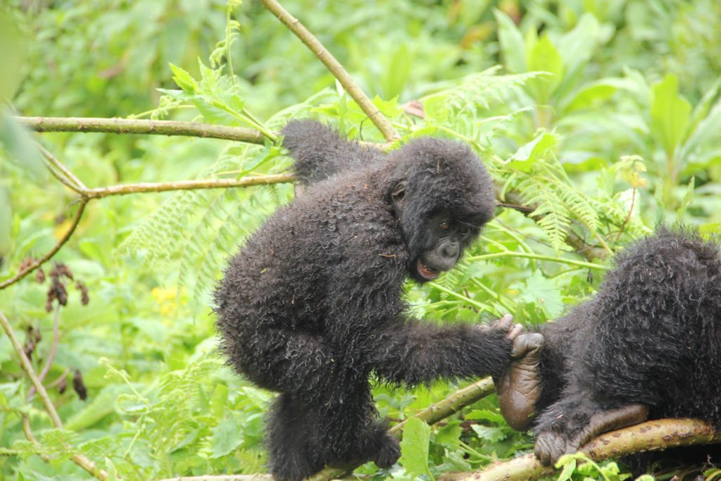 Uganda gorilla trek tour, gorilla tour prices costs