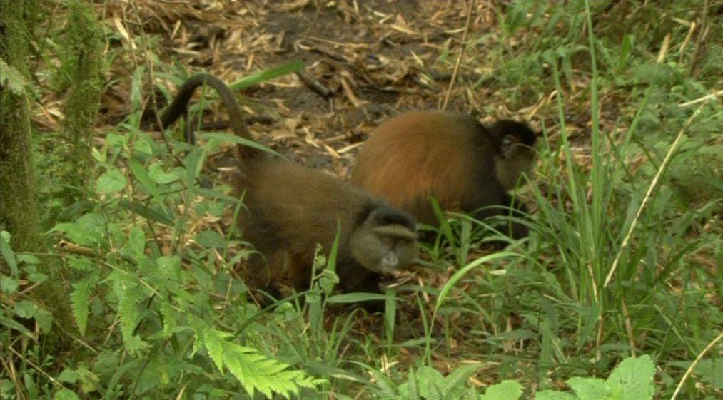 Uganda Gorilla Trekking Golden Monkey Tracking Gorillas and Wildlife Safaris