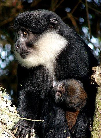 Lhoests monkeys in Bwindi - Gorilla tracking chimpanzee trek tour